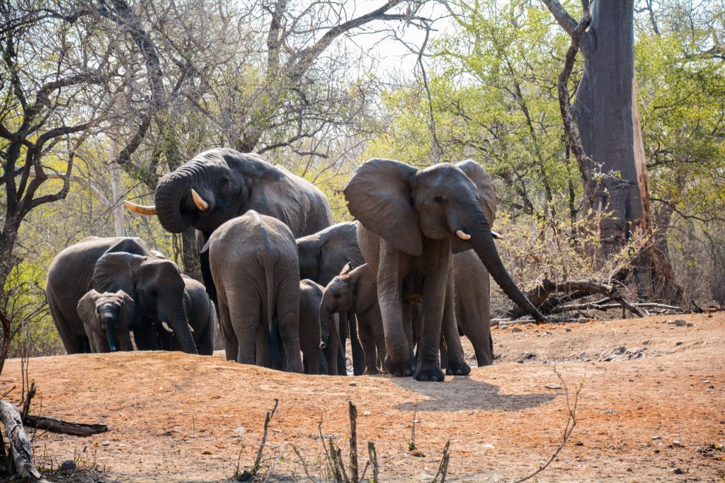 Elephants in Majete wildlife reserve