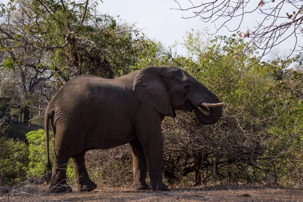 Elephant at Majete Wildlife Reserve