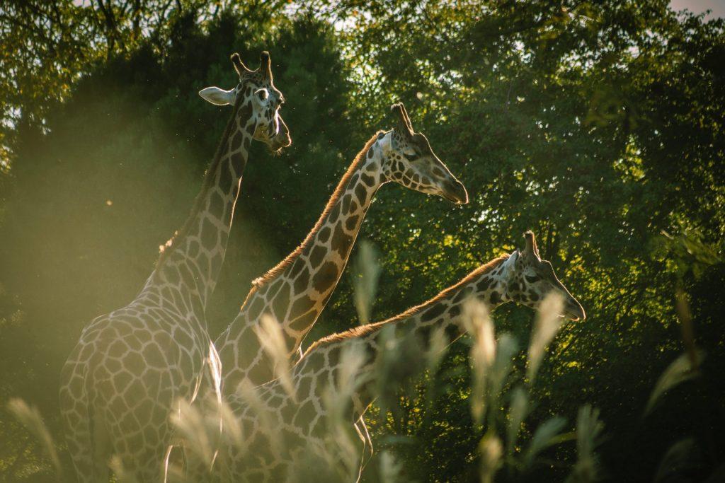 Giraffe in the wildlife reserve